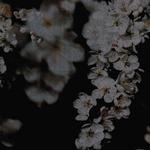 MANDOLINA Samt Kirschblüten schwarz